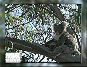 Kangaroo Island Koala -  - Click for a larger Image
